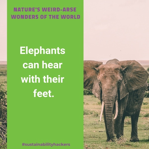 Weird Nature Facts - Sustainability Hackers - Elephant Hearing